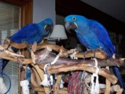 We have well tamed Hyacinth Macaw for sale