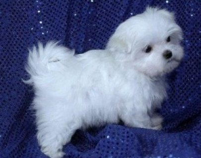 صور Excellent Maltese Puppies for Sale 1