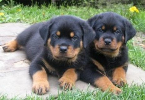 Excellent Rottweiler Puppies
