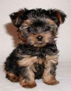 Healthy Teacup Yorkie Puppies