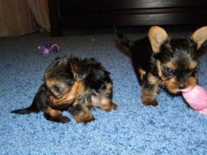 Healthy Yorkie Puppies for Adoption