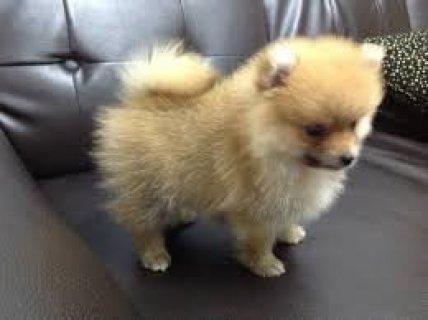 Female Pomeranian for Sale