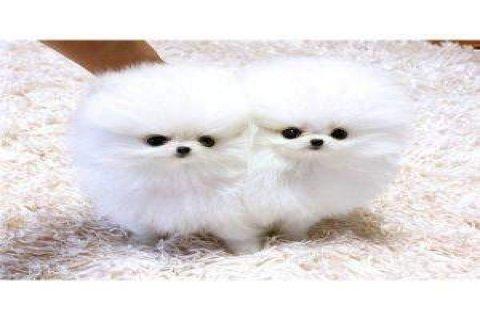 Hello good and adorable x mas tea cup pomeranian puppies for goo