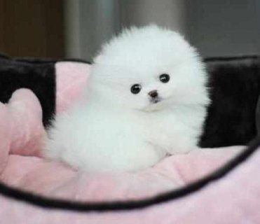 Dorable and Healthy Male And Female Tiny teacup Pomeranian pupp