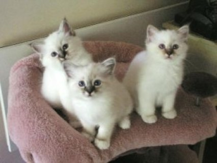 صور Seal Point Birman kittens 1