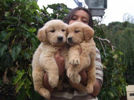 كلاب جولدن ريتريفر للبيع جميلة