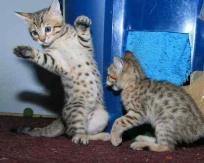Savannah Kittens - Tica Registered - Ready to Go