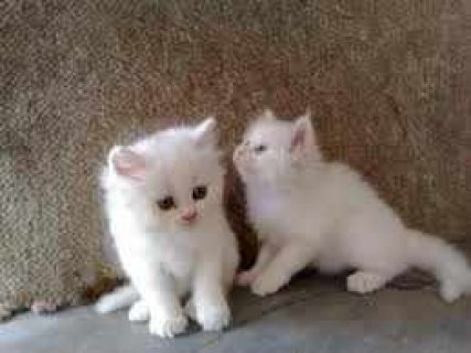 Well trained male and female Teacup Persian Kitten.