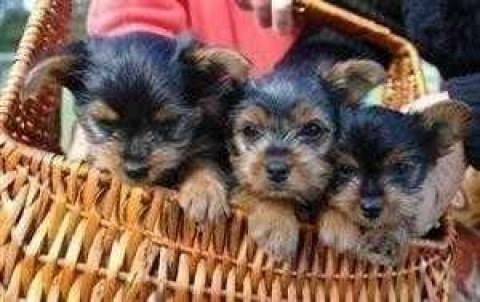 صور Excelent male and female Teacup Yorkie Puppies For Adoption 1