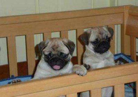 صور lovely pug puppies for adoption 1