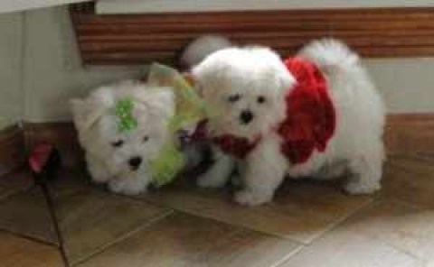 صور Adorable Teacup Maltese puppies For Adoption 1