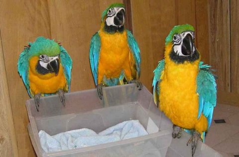 صور Home raised and very friendly blue and gold macaw parrots. 1