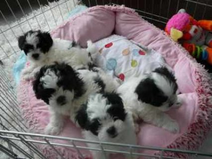 Teacup Shih Tzu Puppies For Adoption