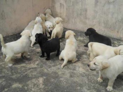 صور 100% healthy Labrador Puppies for adoption 1