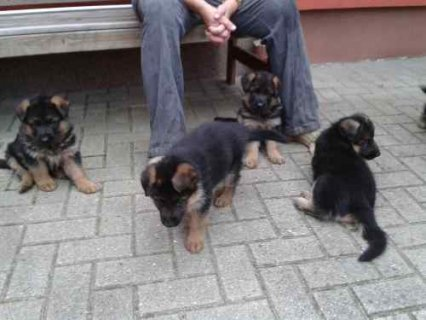 Cute and adorable male and female german shepherd puppies ready