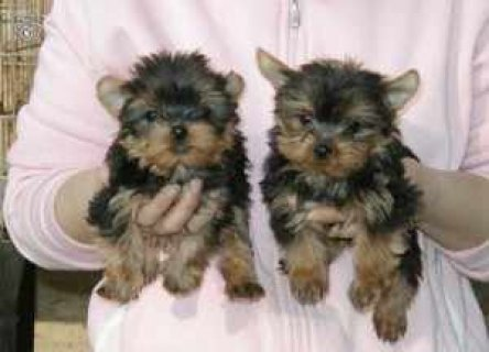 صور Adorable Teacup Yorkie puppies ready for adoption 1