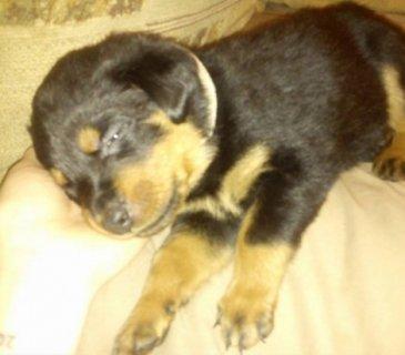 Stunning Pedigree Rottweiler Puppies for adoption