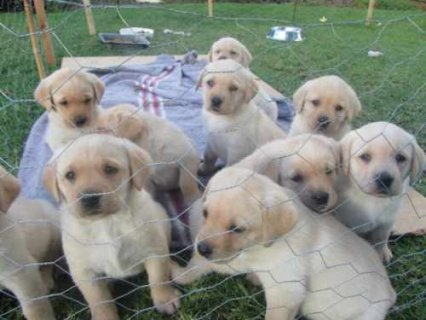 صور Lovely Larbrado Puppies for Adoption 1