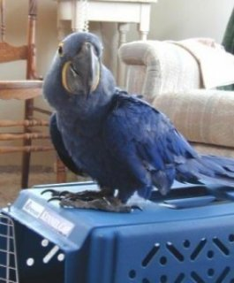 صور Blue Macaws Parrots for Sale>>>>>>>>> 1