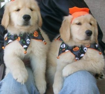 Affectionate Male and Female Golden Retriever Puppies For SALE