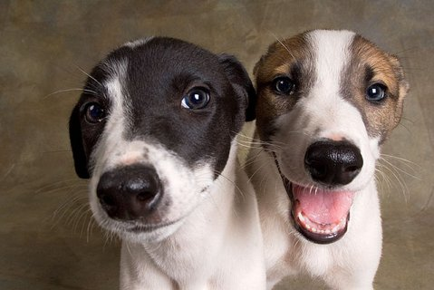 Greyhound Puppies for  For Sale