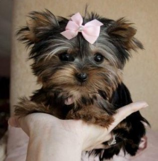 Wow Wow Teacup Yorkie Puppies for Sale