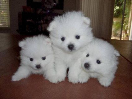 Wow Pomeranian Puppies For Good Homes