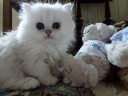 Cute Persian Kittens Available for adoption><><.