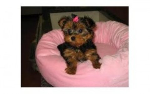 Adorable Yorkie puppies,