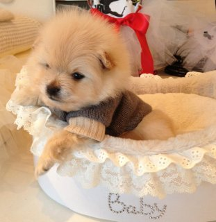 Rena and Bell are both Male and female Tiny Teacup Pomeranian Pu