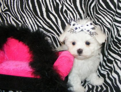 Beautiful Males And Females Teacup Maltese Puppies