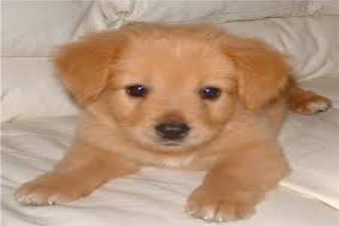 Charming Outstanding Golden Retriever Puppies ready for good Hom