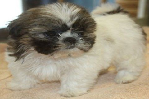 Cute and Lovely Shih Tzu Pups!(do Contact Us Via Larac2733@<g<m<
