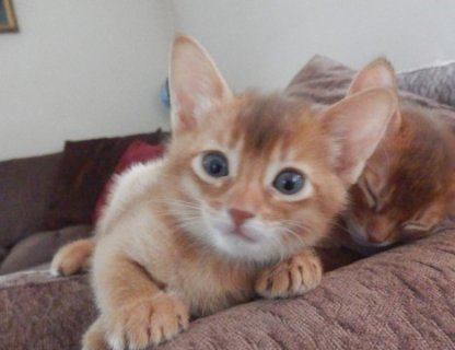 صور  Abyssinian Kittens - LOW COST, BEST QUALITY 1