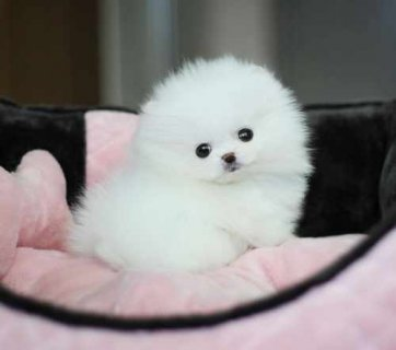 Gorgeous Male and Female Teacup Pomeranian Puppies.
