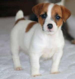 Adorable Little Jack Russell Puppies for sale Adorable Little Ja