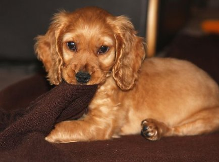صور Cockapoo Puppies Available 1