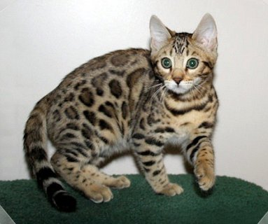 صور Bengal stunning kittens with Leopard markings 1