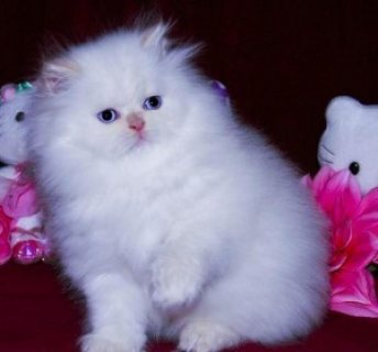 Adorable persian kittens for new home