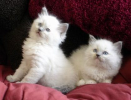 صور Pedigree Ragdoll Kittens for sale 1