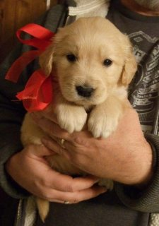 صور Two Gorgeous, quality AKC Golden Retriever puppies 1
