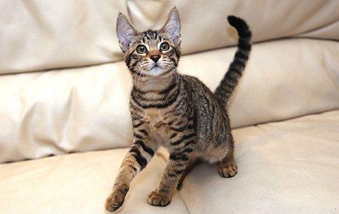 Gorgeous Savannah Kittens For Adoption