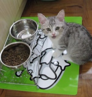 Home Raised British Short Hair Kittens Now Available