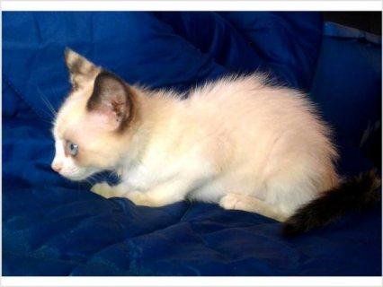 Siamese Tortie Point Kitten