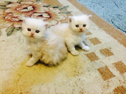 White Persian Kittens fully registered