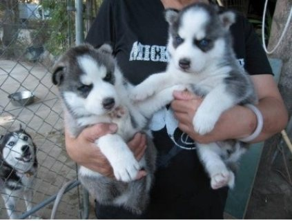 Gorgeous  Siberian Husky Puppies,
