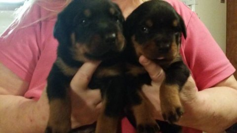 صور Rottweiler Puppies Fore Sale 1