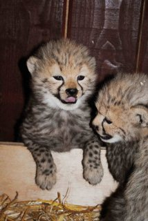 cheetah cubs pets