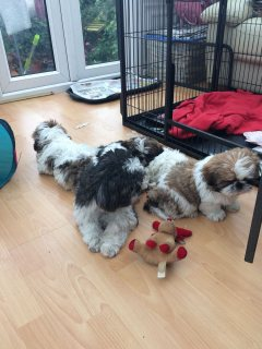 shih tzu dogs for rehoming