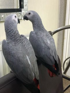 Hand Raised Blue And Gold Macaw Parrots And Parrots Eggs